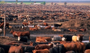 California-feedlot-drought